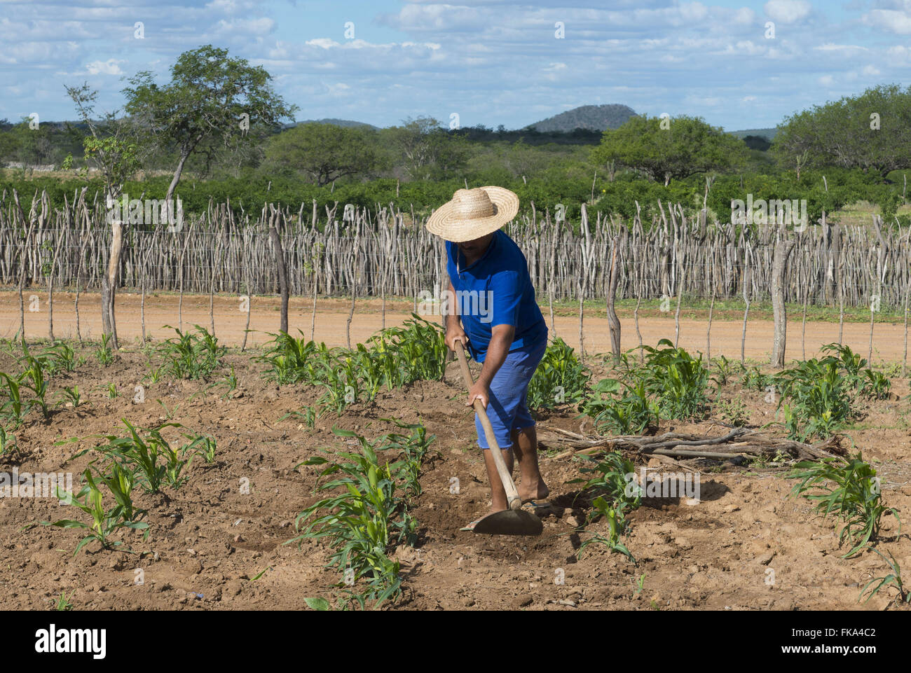 Carpindo backcountry bush roca in subsistence maize in the village of Saw Grey - Stock Image