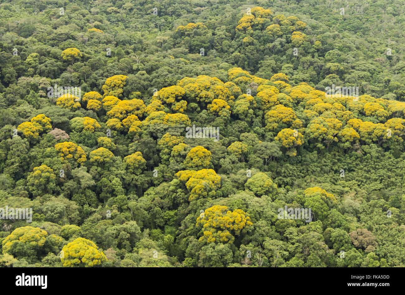 Flowering acacias in the Atlantic Forest - Ecological Station Jureia-Itatins - Stock Image