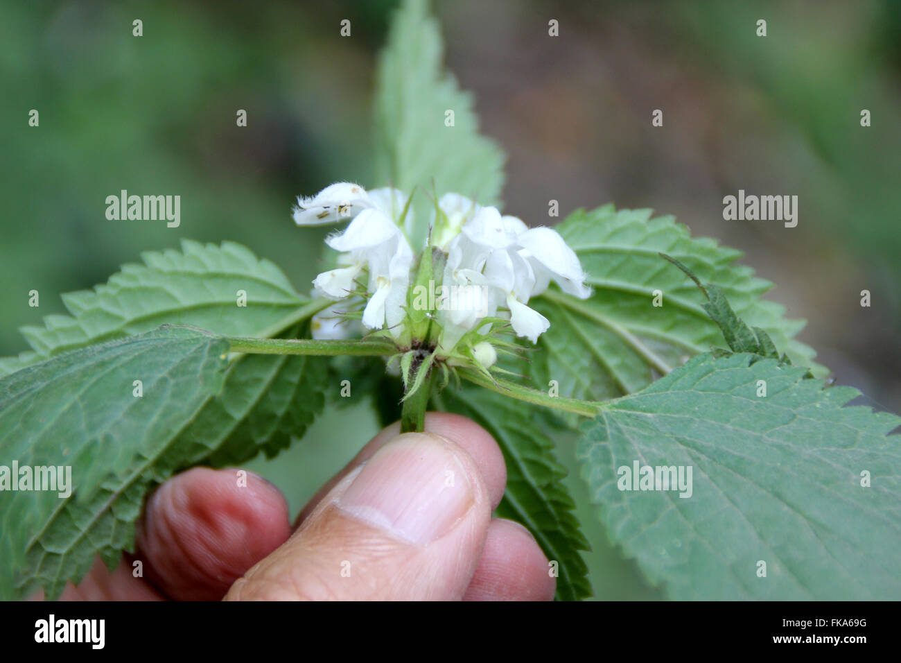 Lamium album, White nettle, herbaceous perennial with 4-angled stems, softly hairy serrate leaves and white fl - Stock Image