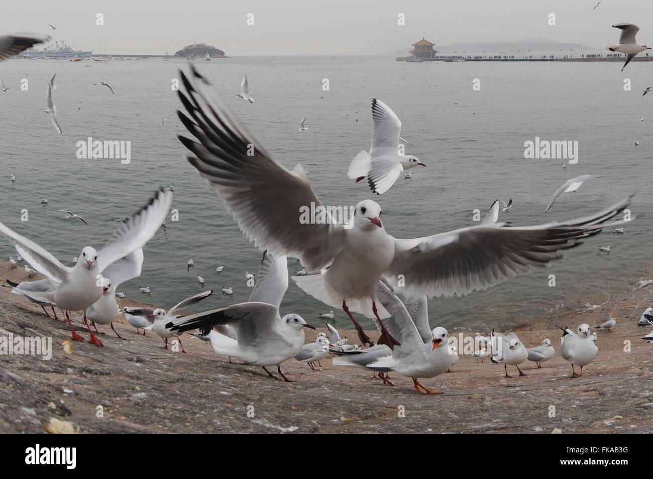 Qingdao, China's Shandong Province. 7th Mar, 2016. Black-headed gulls scramble for food at the Zhanqiao Pier - Stock Image