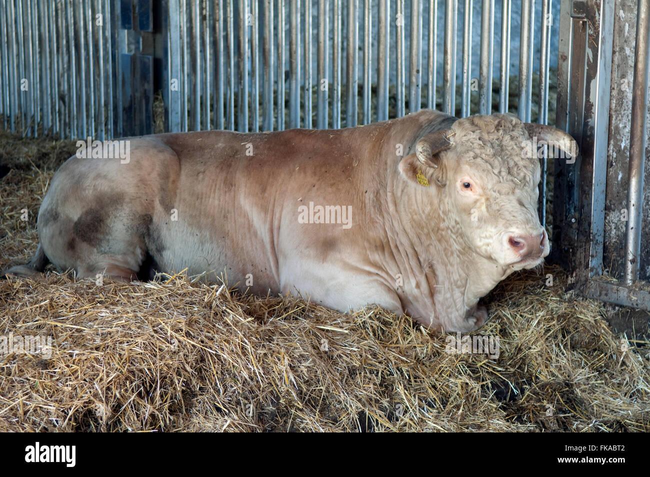Charolais, Bulle - Stock Image