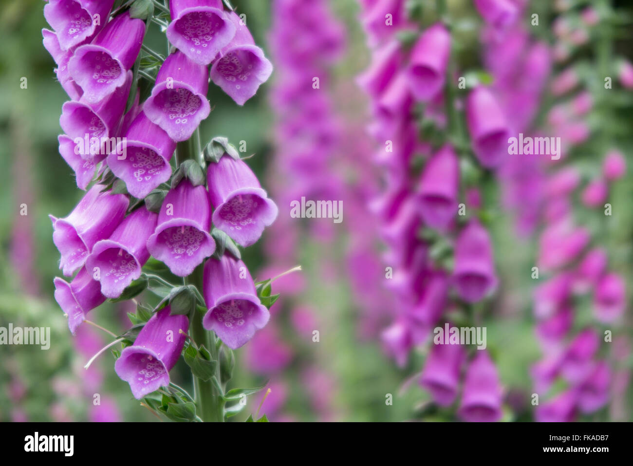 foxgloves in the woods nr Minterne Magna, Dorset, England, UK - Stock Image