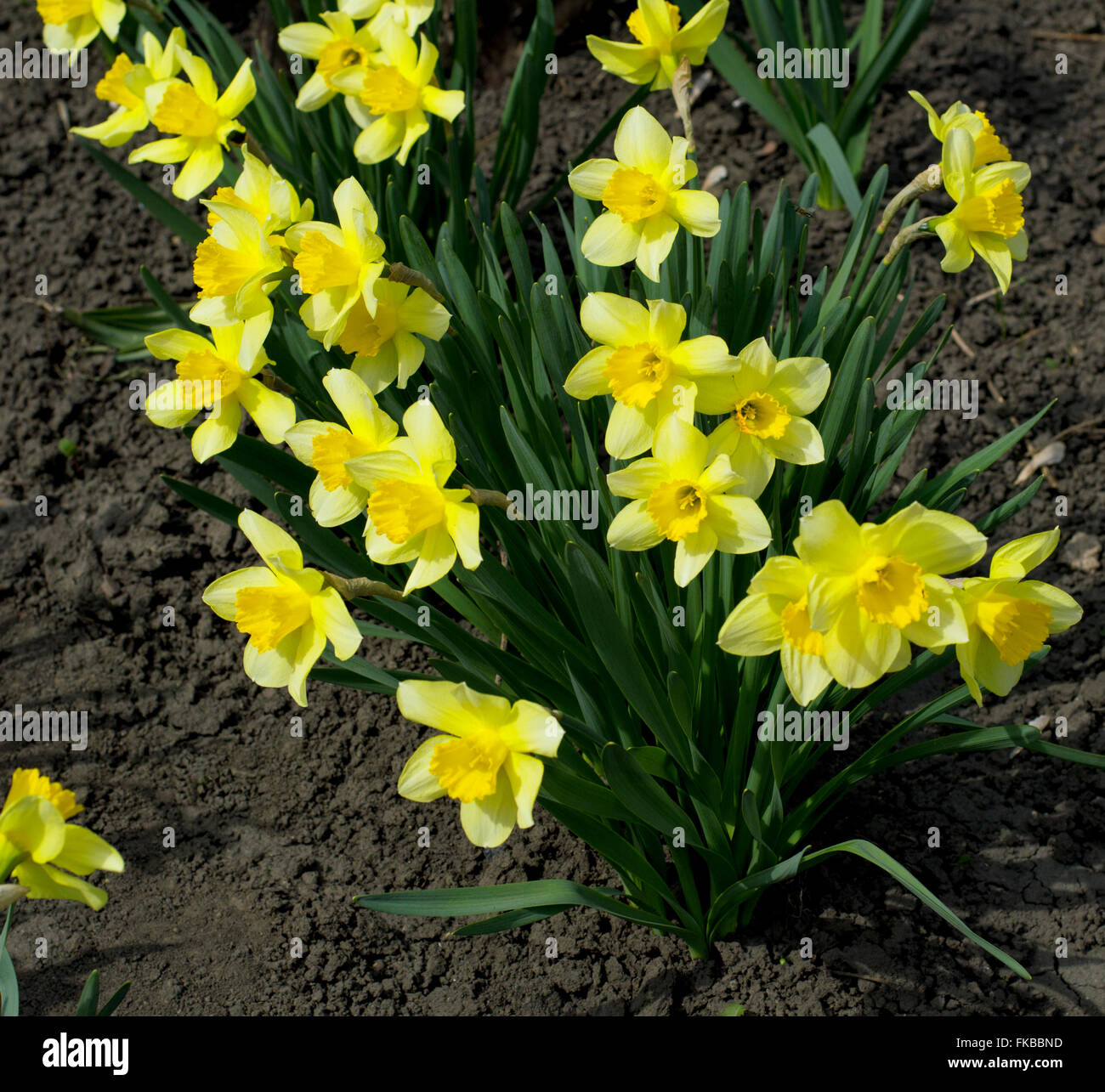 yellow spring flowers on the earth - Stock Image