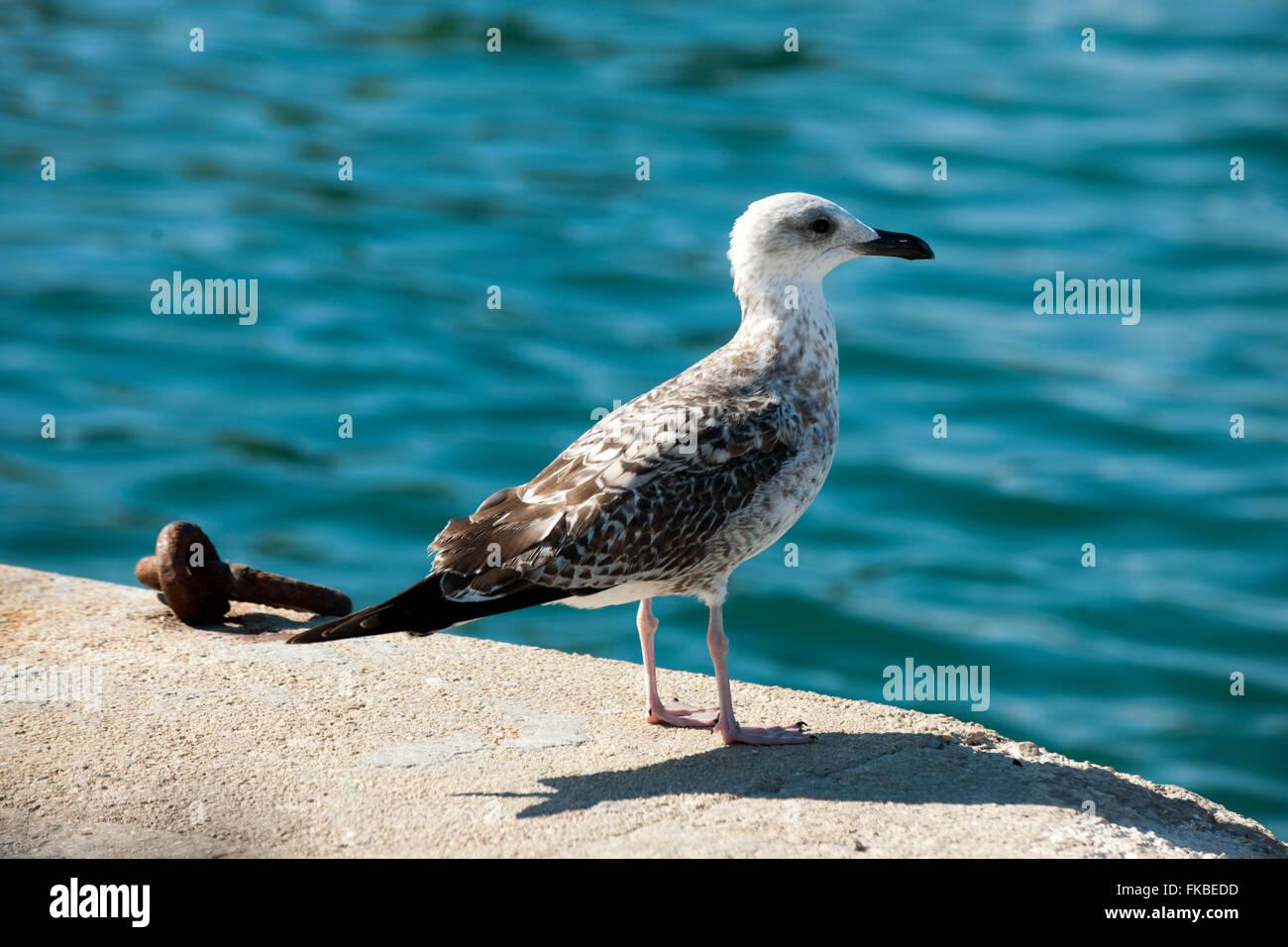 Kroatien, Insel Losinj, Veli Losinj, Möwe - Stock Image