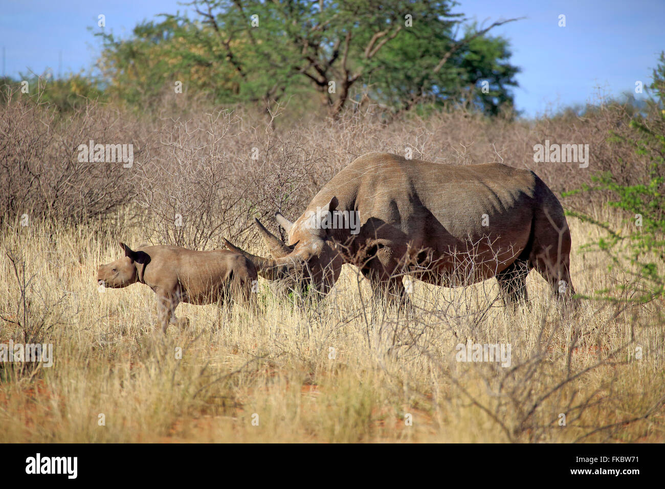 Black Rhinoceros, hook-lipped rhinoceros, adult female with young, Tswalu Game Reserve, Kalahari, Northern Cape, - Stock Image