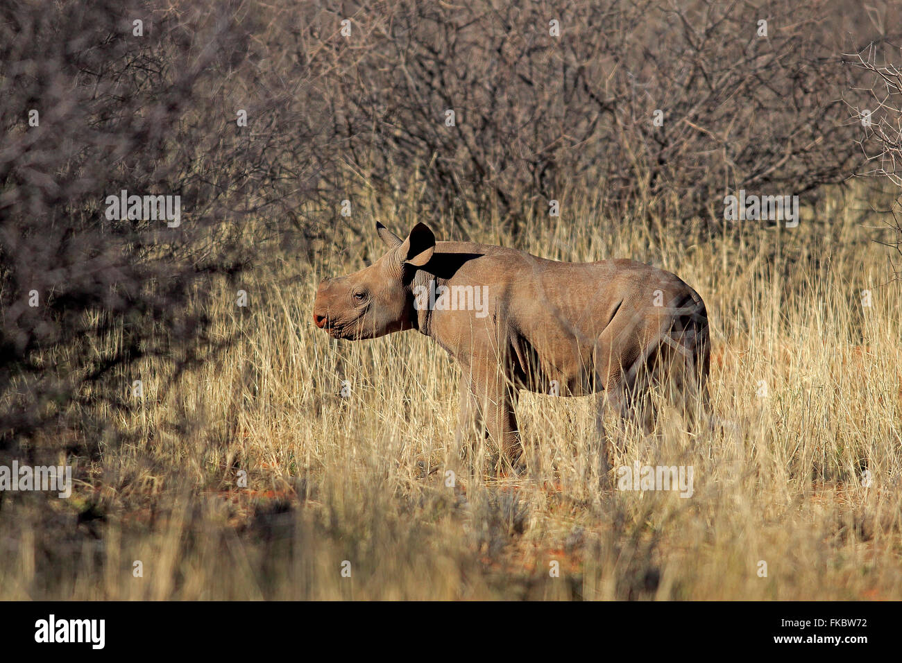 Black Rhinoceros, hook-lipped rhinoceros, young, Tswalu Game Reserve, Kalahari, Northern Cape, South Africa, Africa - Stock Image