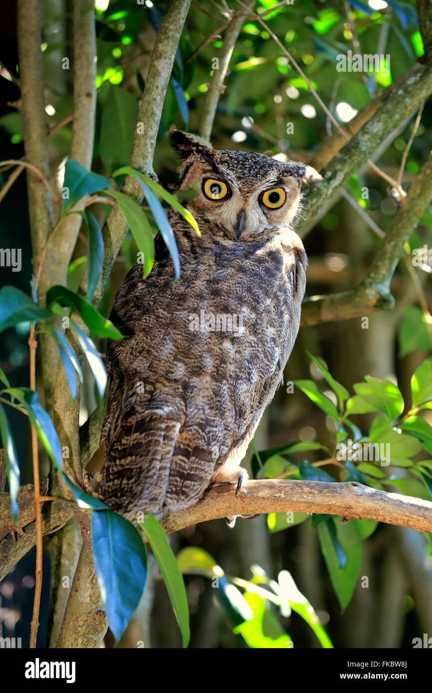 Great Horned Owl, adult on tree alert / (Bubo virginianus) - Stock Image