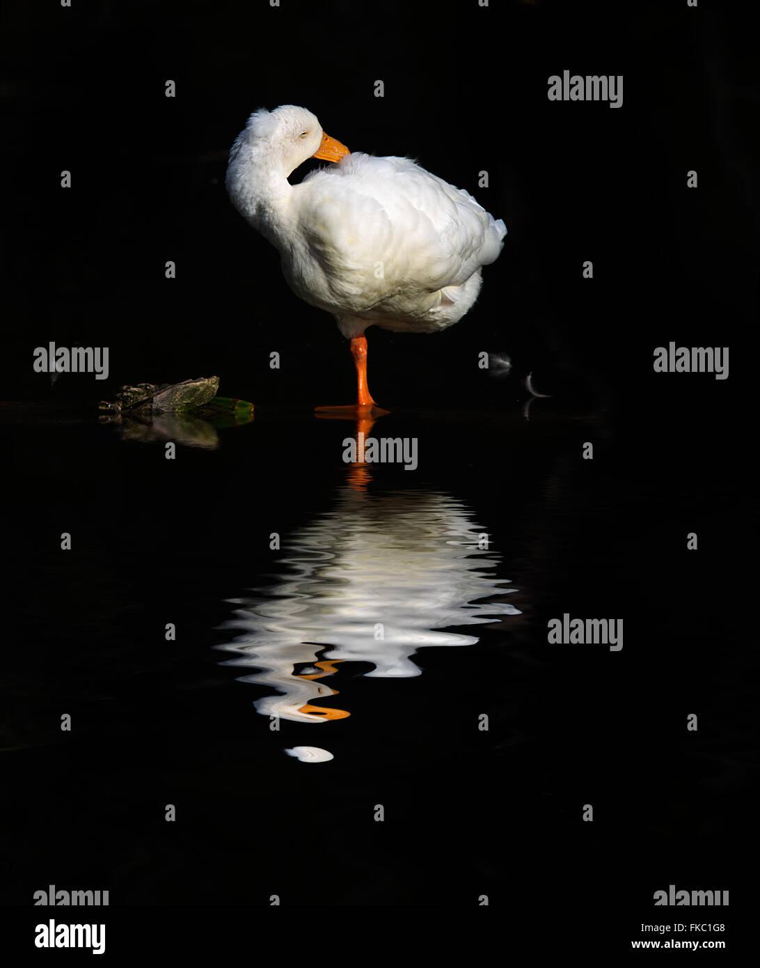 Aylesbury Duck resting. - Stock Image
