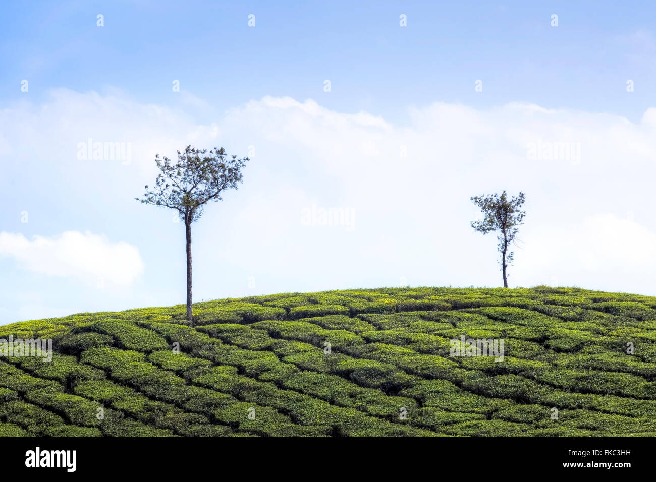tea plantation in Peermade, Kerala, India, Asia - Stock Image