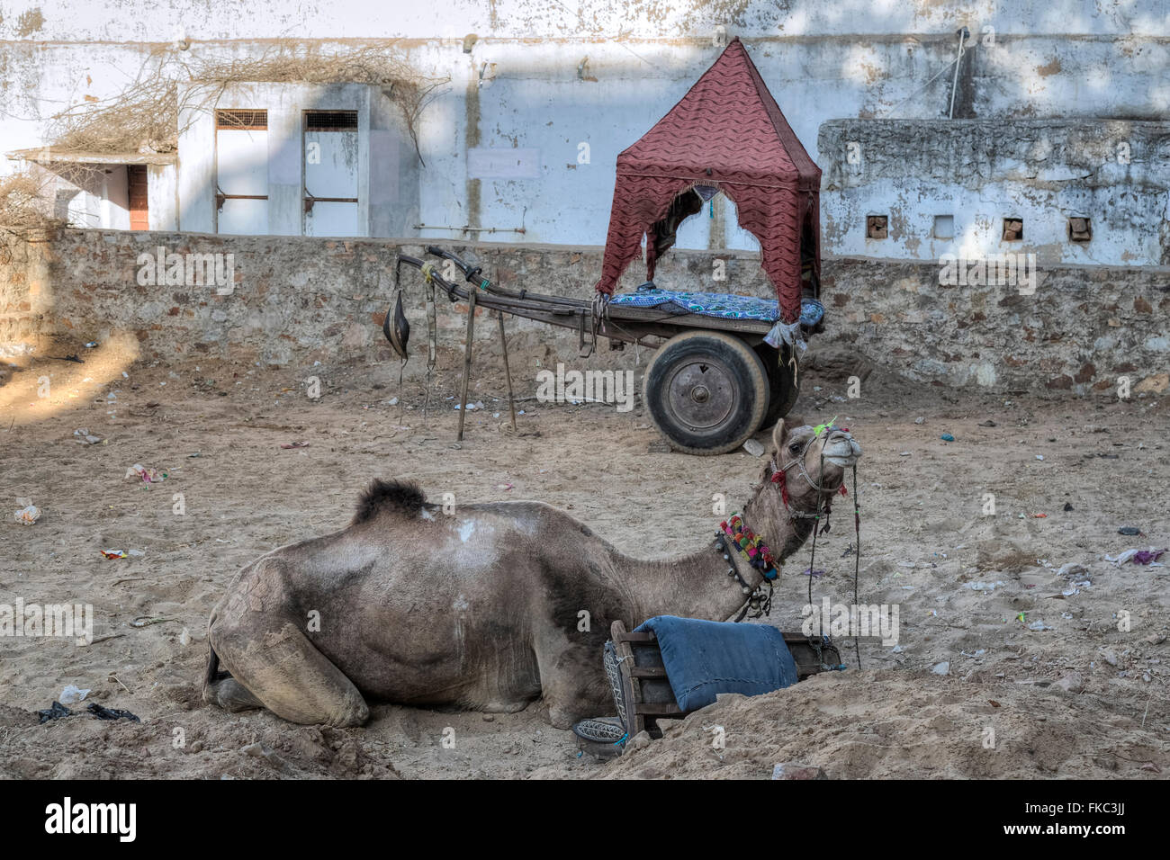 camel with carriage in Pushkar, Ajmer, Rajasthan, India, Asia - Stock Image