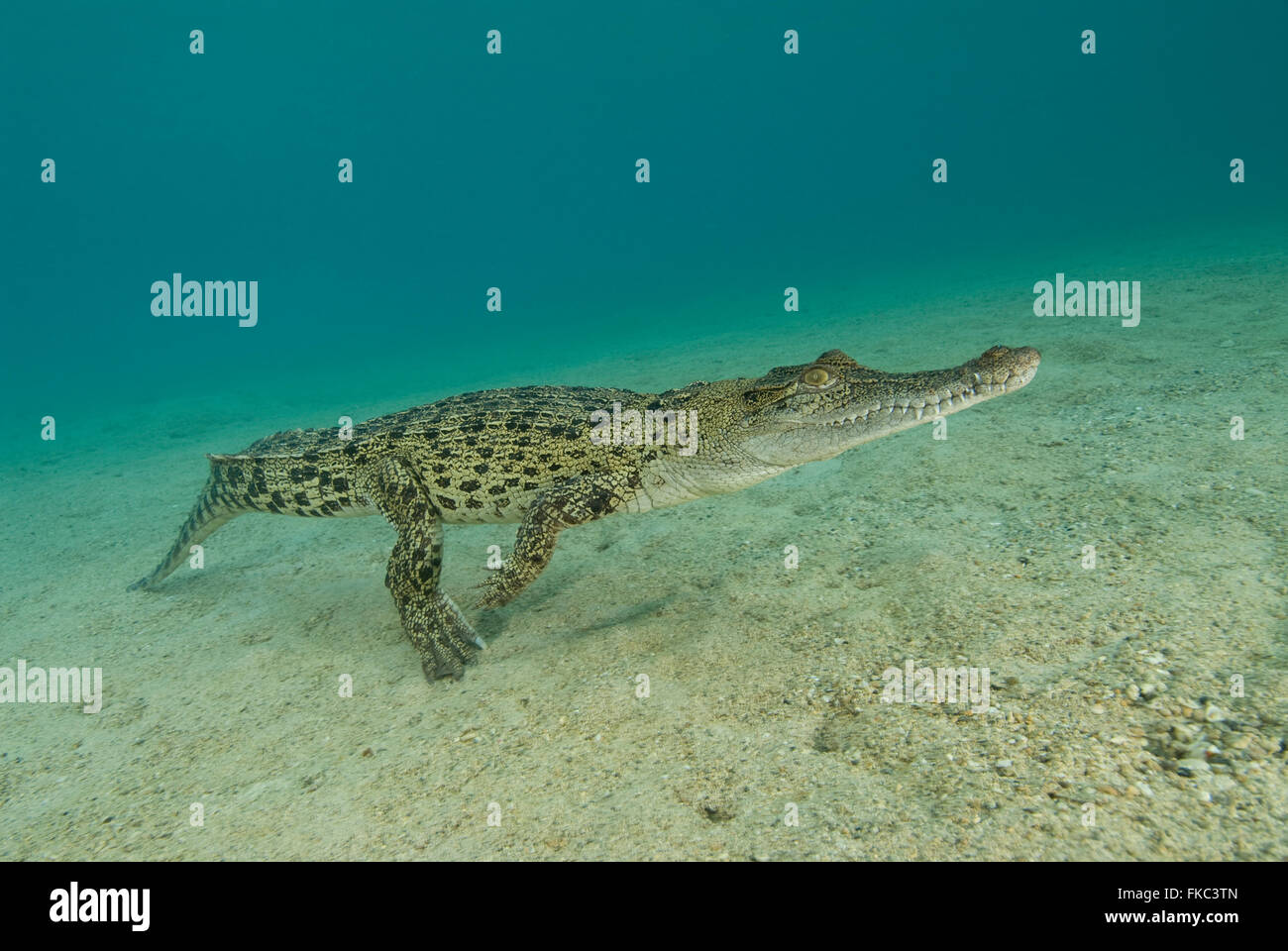 Saltwater crocodile, crocodylus porosus is the largest of all living crocodilians and reptiles. It is found in suitable - Stock Image
