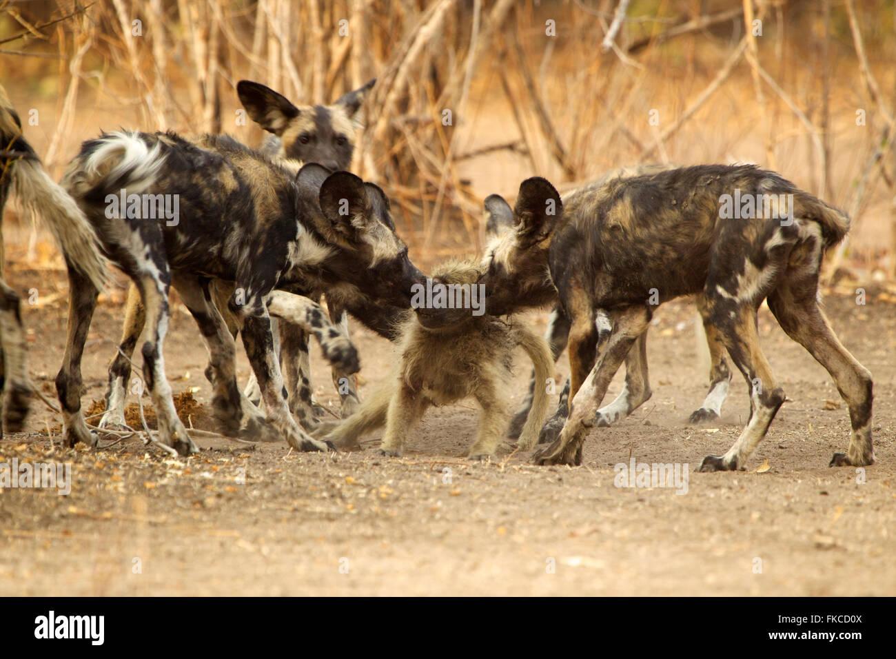 African Wild Dog Pups Learning To Kill A Baboon Mana Pools Zimbabwe Stock Photo Alamy