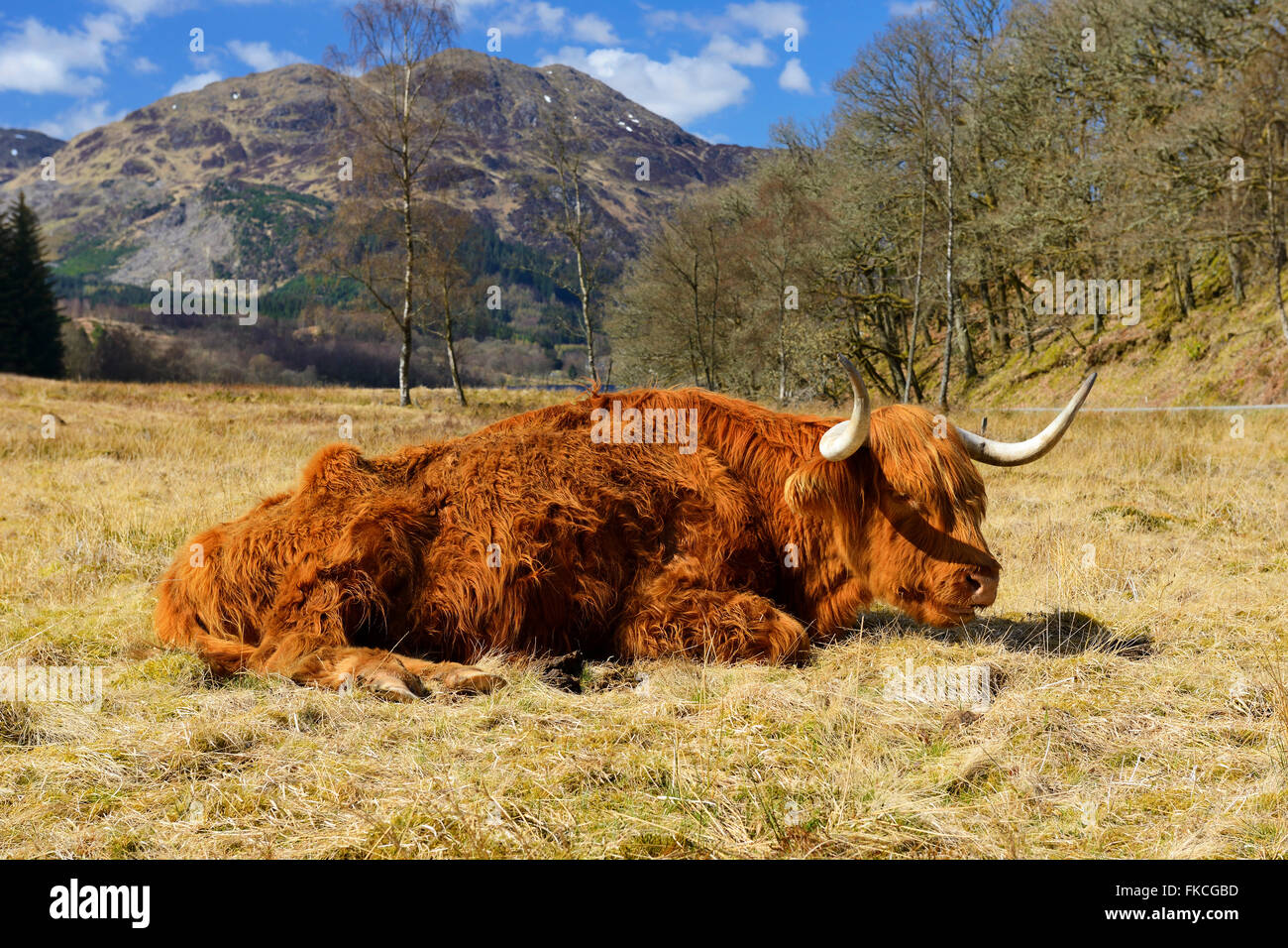 Highland cow laying down, Achray Forest Drive, Trossachs, Scotland, UK - Stock Image