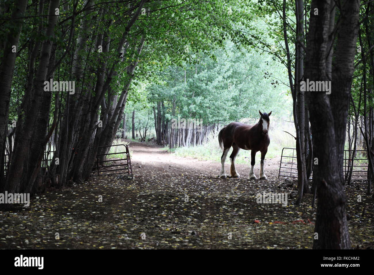 Draft horse in serene poplar forest and pathway setting - Stock Image