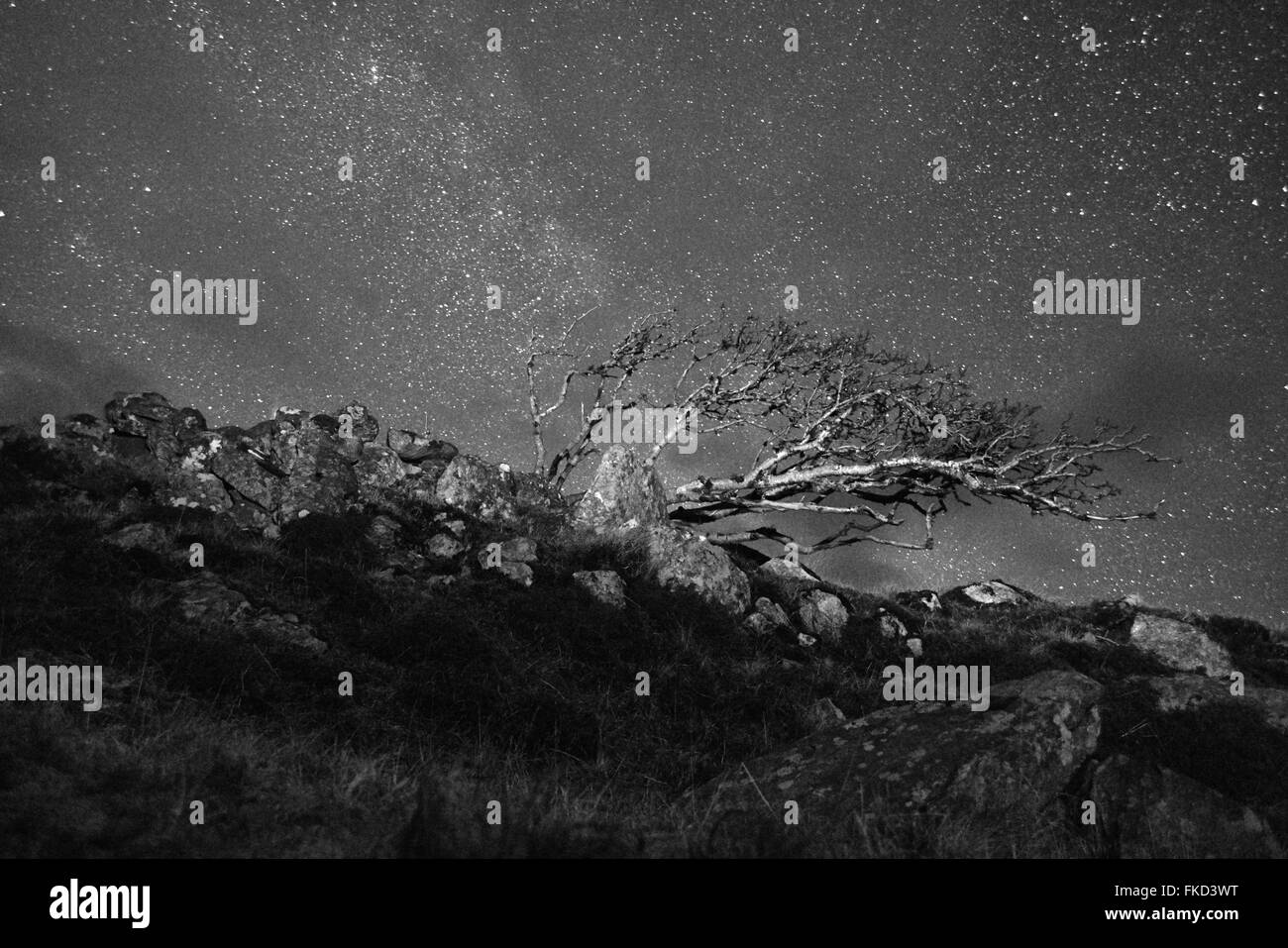 Wind-blown Rowan tree (Sorbus aucuparia) against a very starry sky. Isle of Lewis. Scotland. Black and White - Stock Image