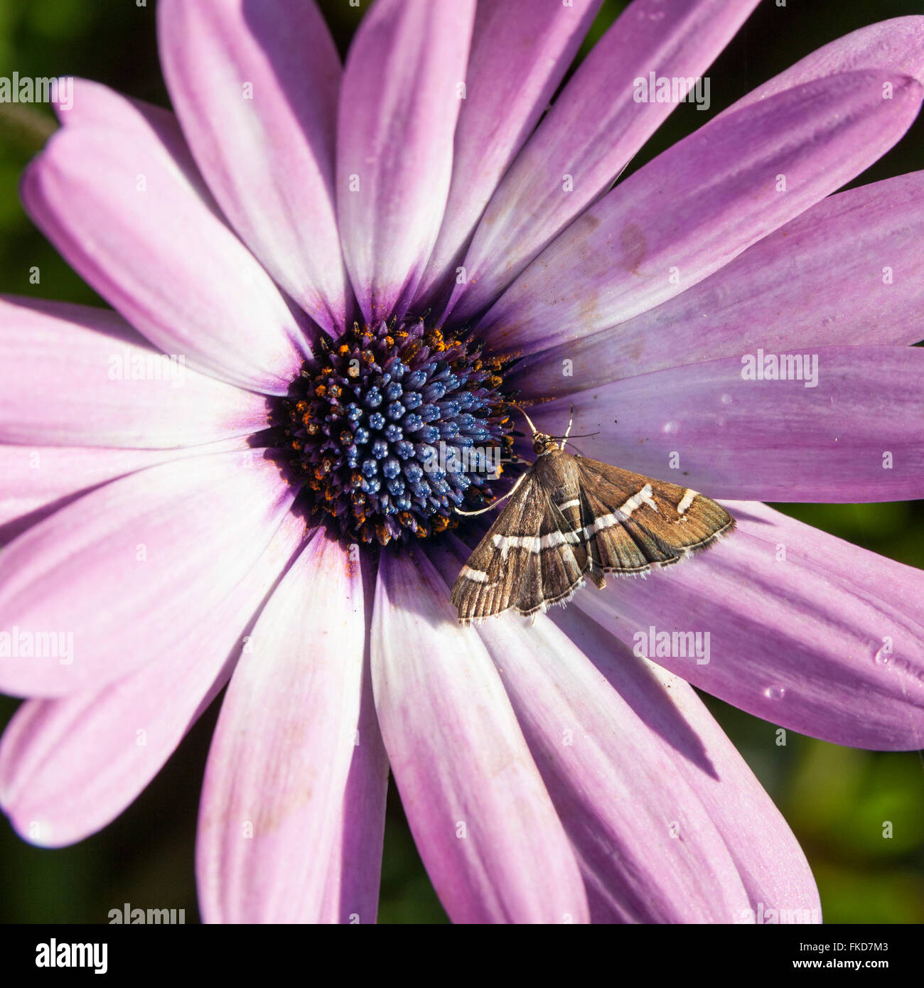 Brown moth with white stripes on purple flower of daisy in sunlight brown moth with white stripes on purple flower of daisy in sunlight izmirmasajfo Choice Image