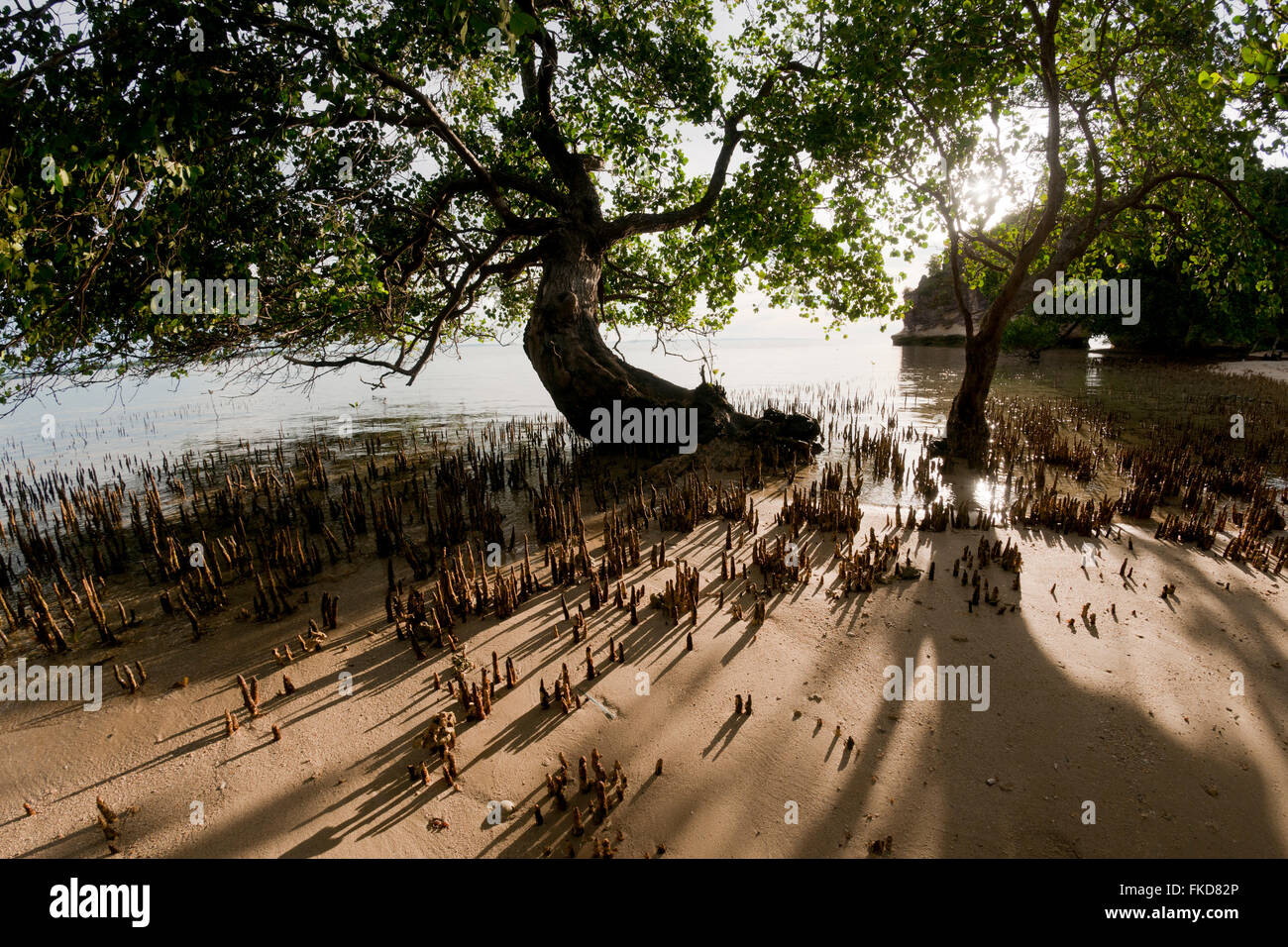 Aerial roots of a black mangrove tree in the late afternoon. - Stock Image