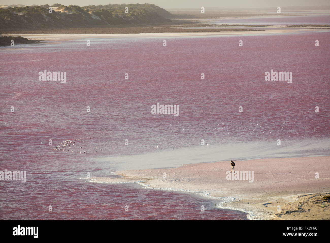 Wendy treading boldly on the shores of the pink Hutt Lagoon at Port Gregory, West Australia - Stock Image