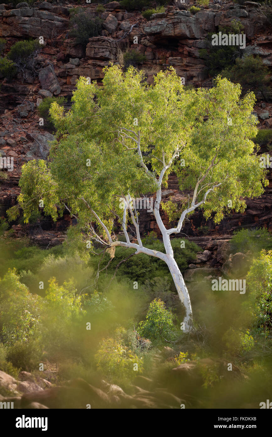 a eucalyptus tree in the Murchison River gorge at Ross Graham, Kalbarri National Park, Western Australia - Stock Image