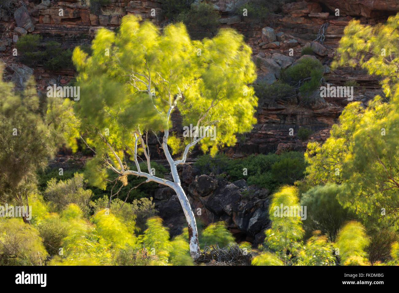 a eucalyptus tree in the Murchison River gorge at Ross Graham, Kalbarri National Park, Western Australia - Stock Image