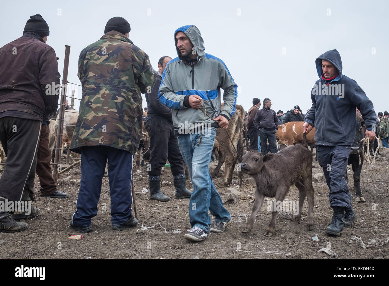 Scene from an open air animal market in Georgia close to the Azerbaijan border. A man drags a calf through a group - Stock Image