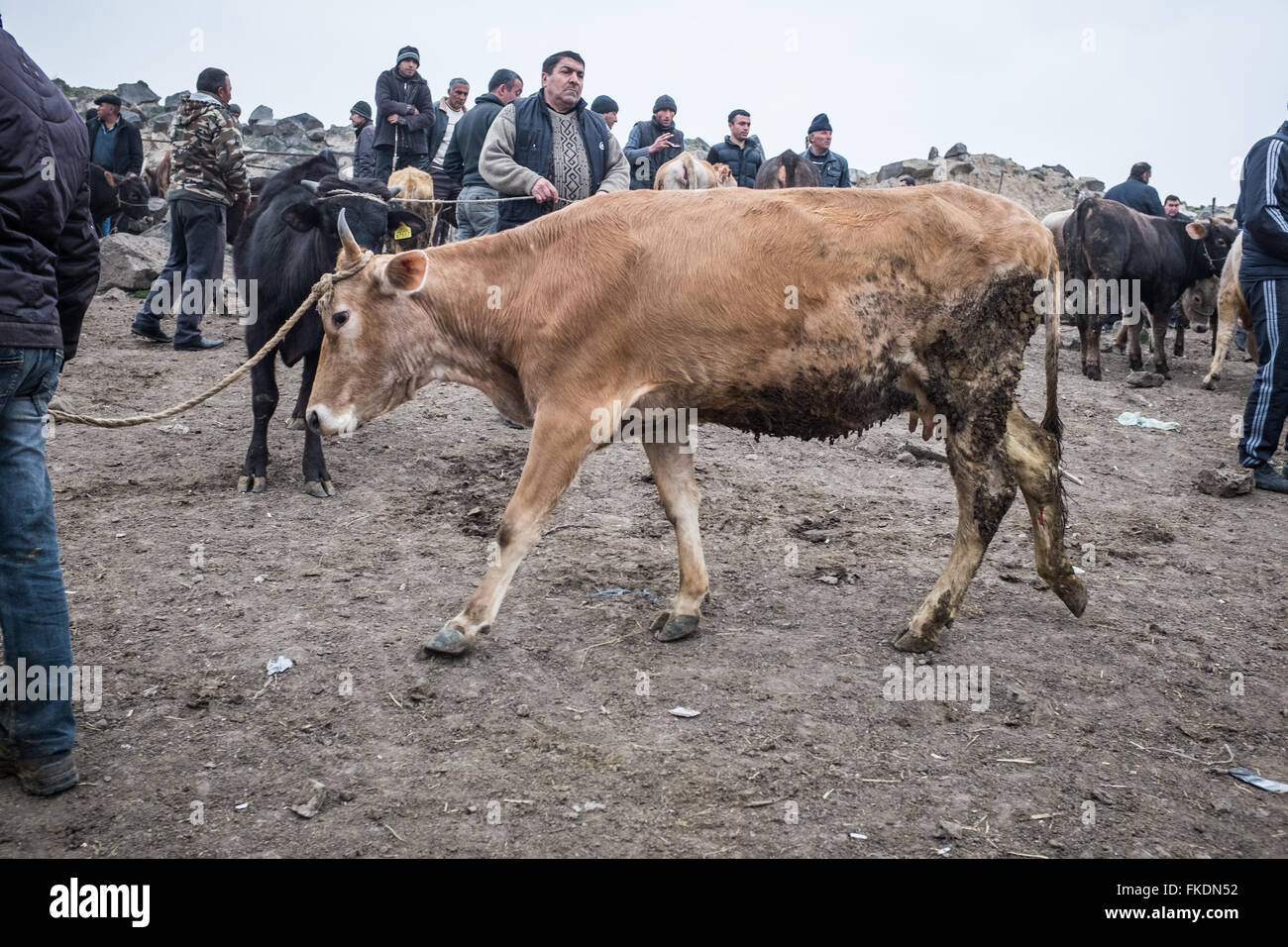 Scene from an open air animal market in Georgia close to the Azerbaijan border. A cow is dragged through a group - Stock Image