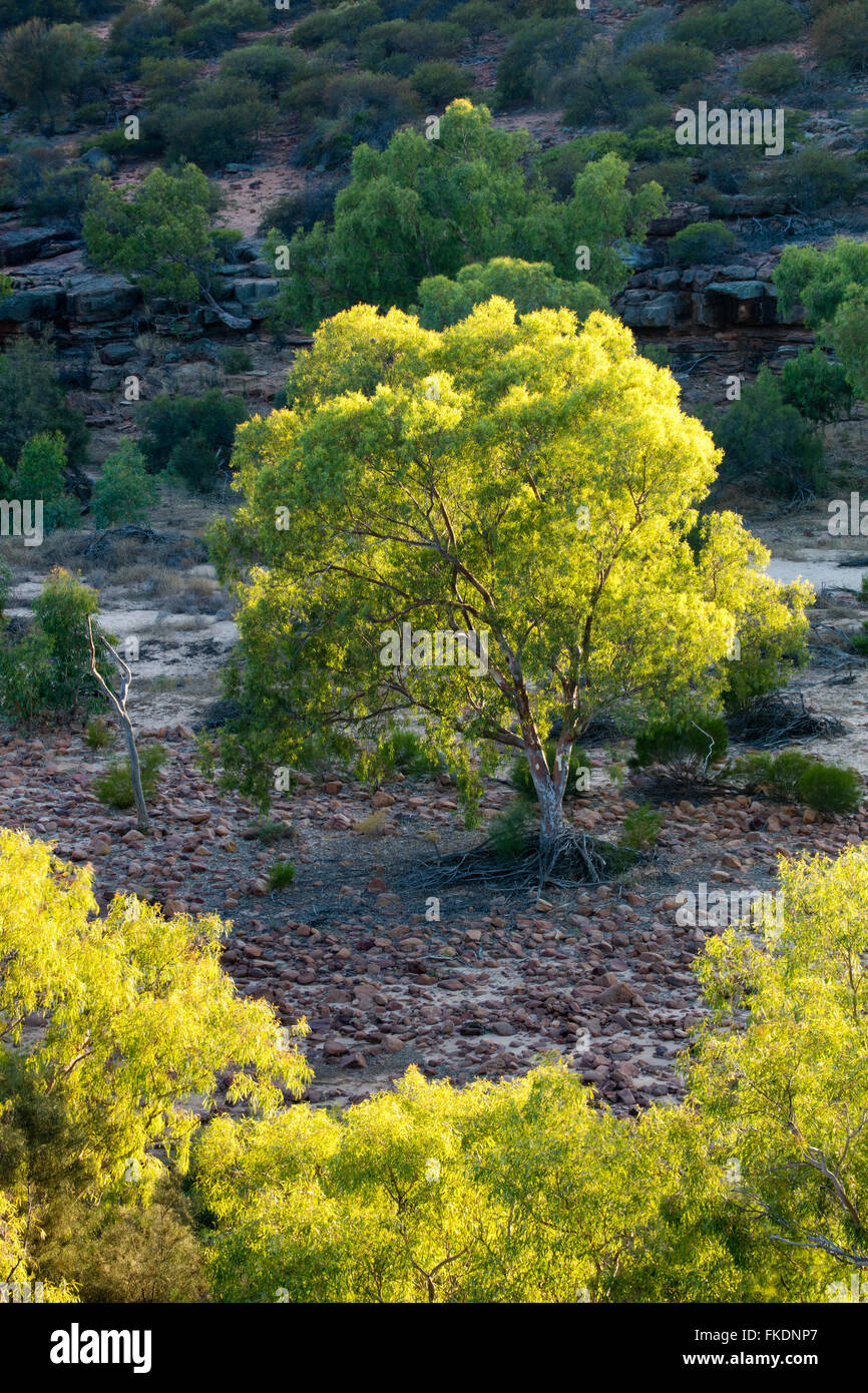 a eucalyptus tree in the Murchison River gorge at the Ross Graham lookout, Kalbarri National Park, Western Australia - Stock Image