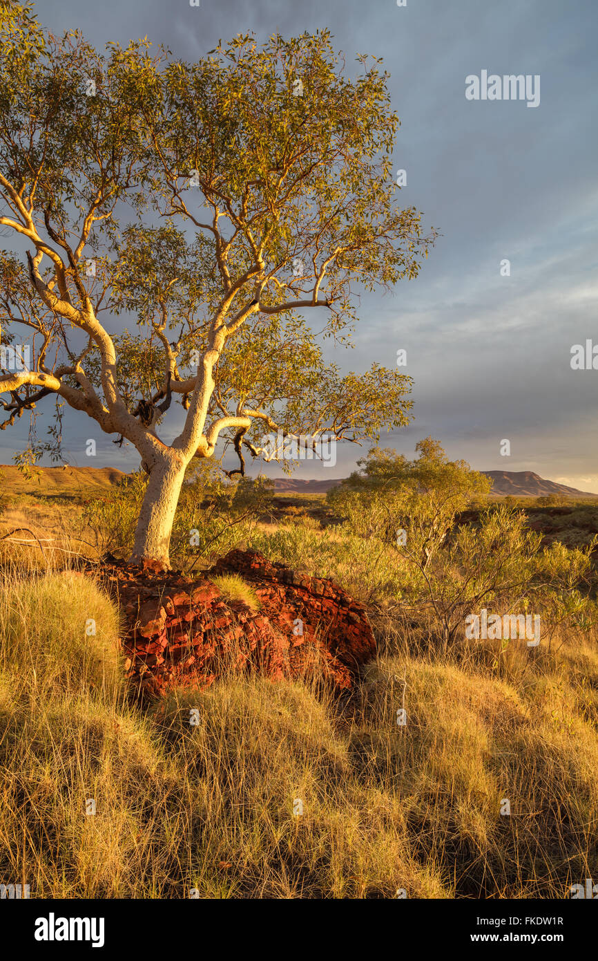a eucalyptus tree in the last light of day, Hamersley Gorge, Karijini National Park, Pilbara, Western Australia - Stock Image