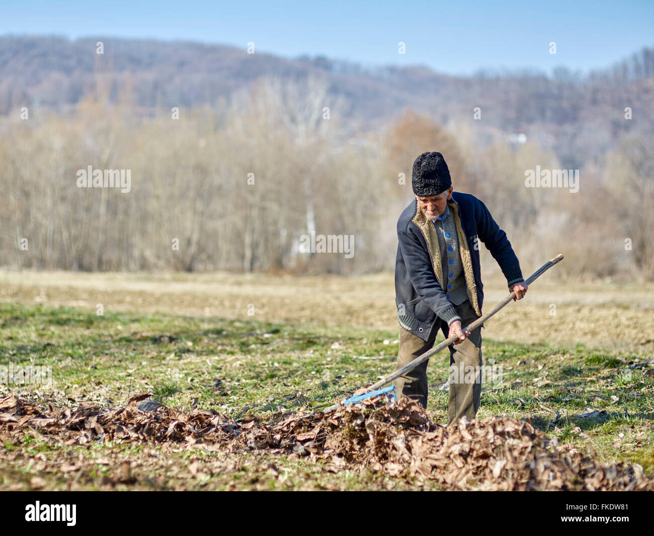 Senior farmer cleaning dead leaves from a walnut orchard - Stock Image