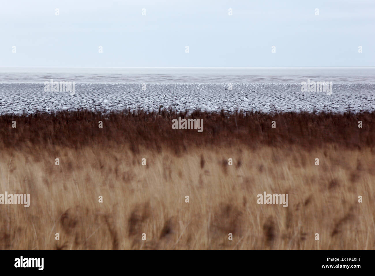 Reedbeds and mudflats at Steart Marshes. Somerset. UK. - Stock Image