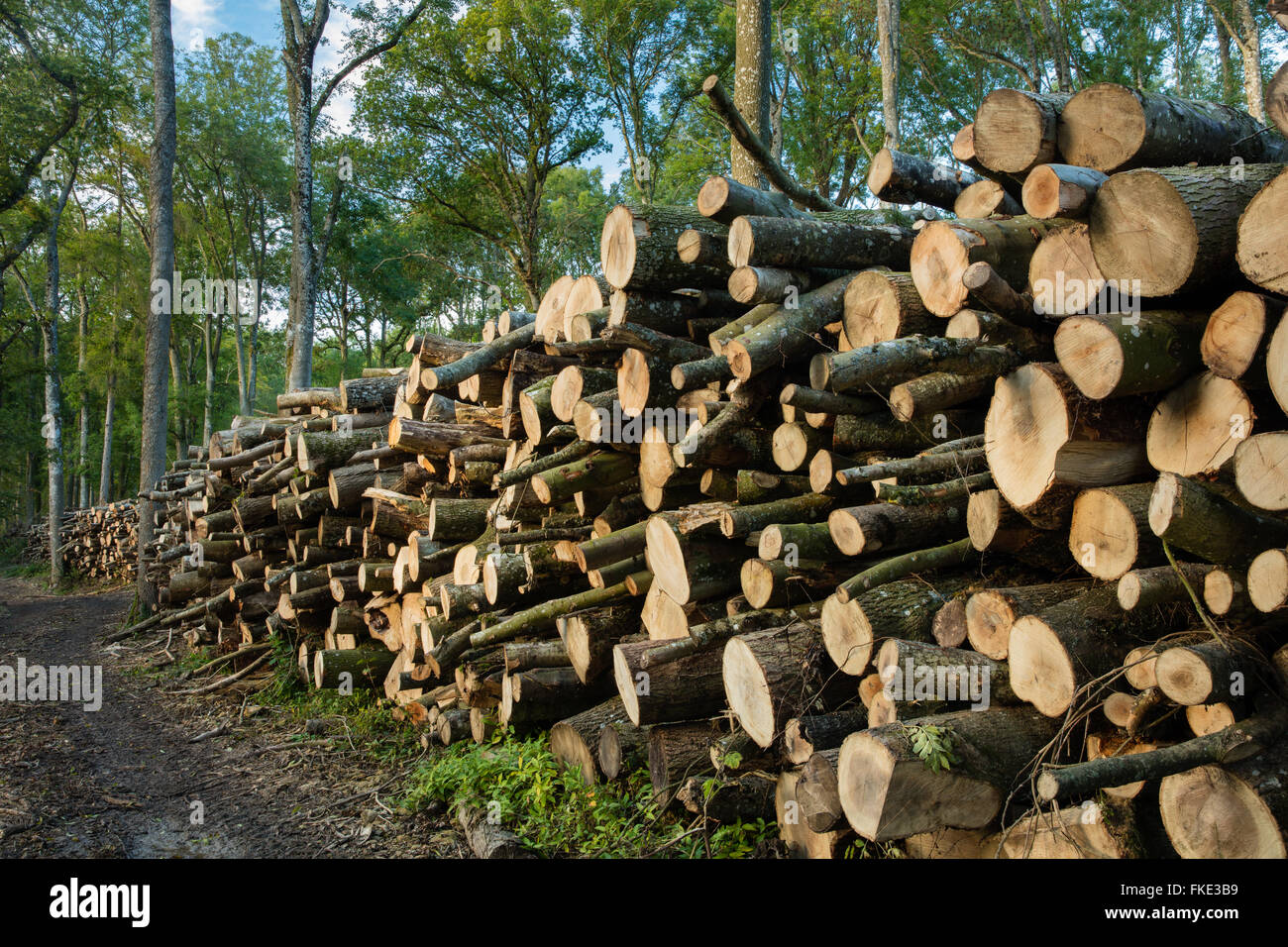logs stacked in the woods, Milborne Wick, Somerset, England, UK - Stock Image