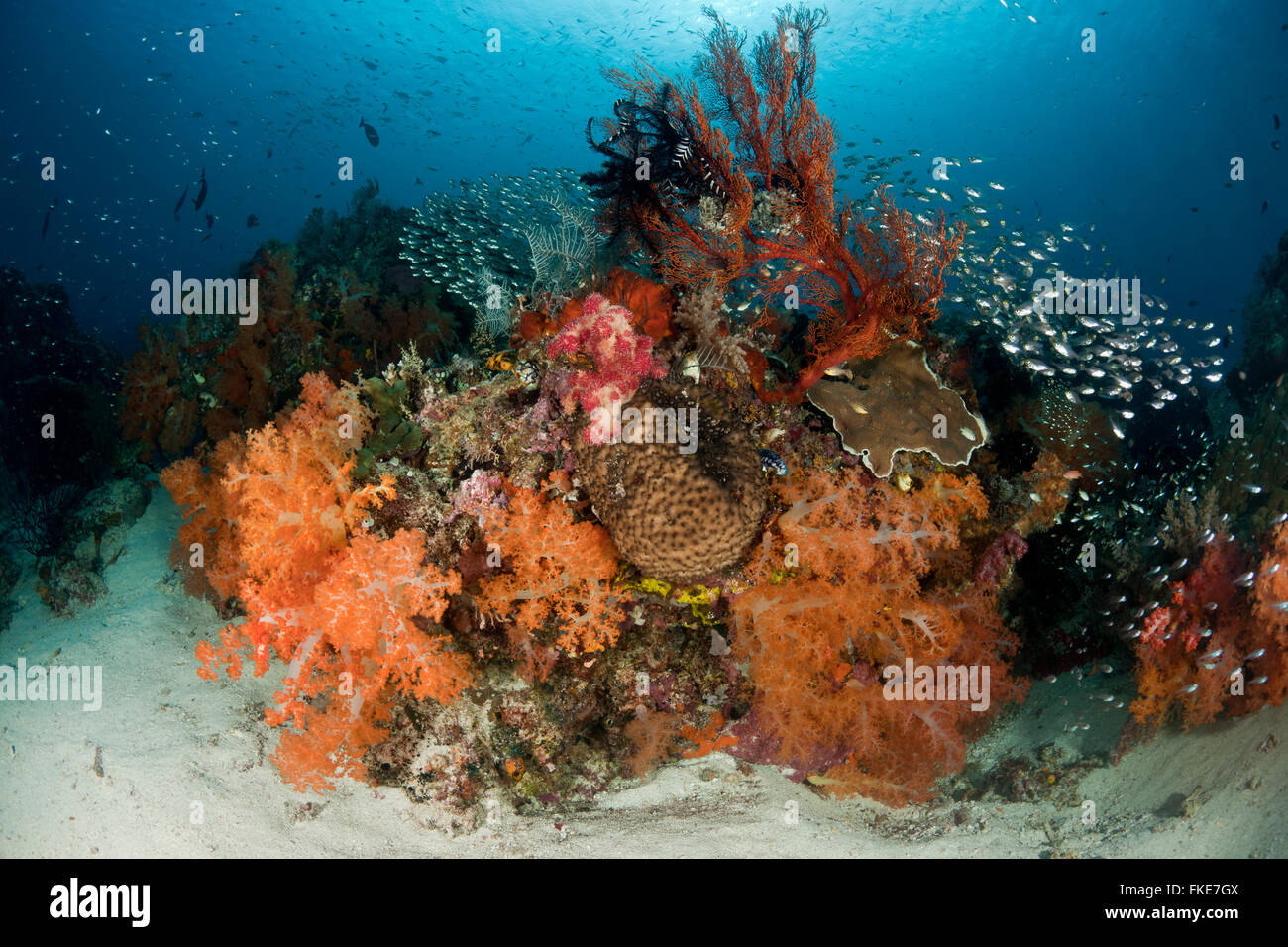 A school of glassy sweepers in gorgonian fans and soft corals in the reef. Stock Photo