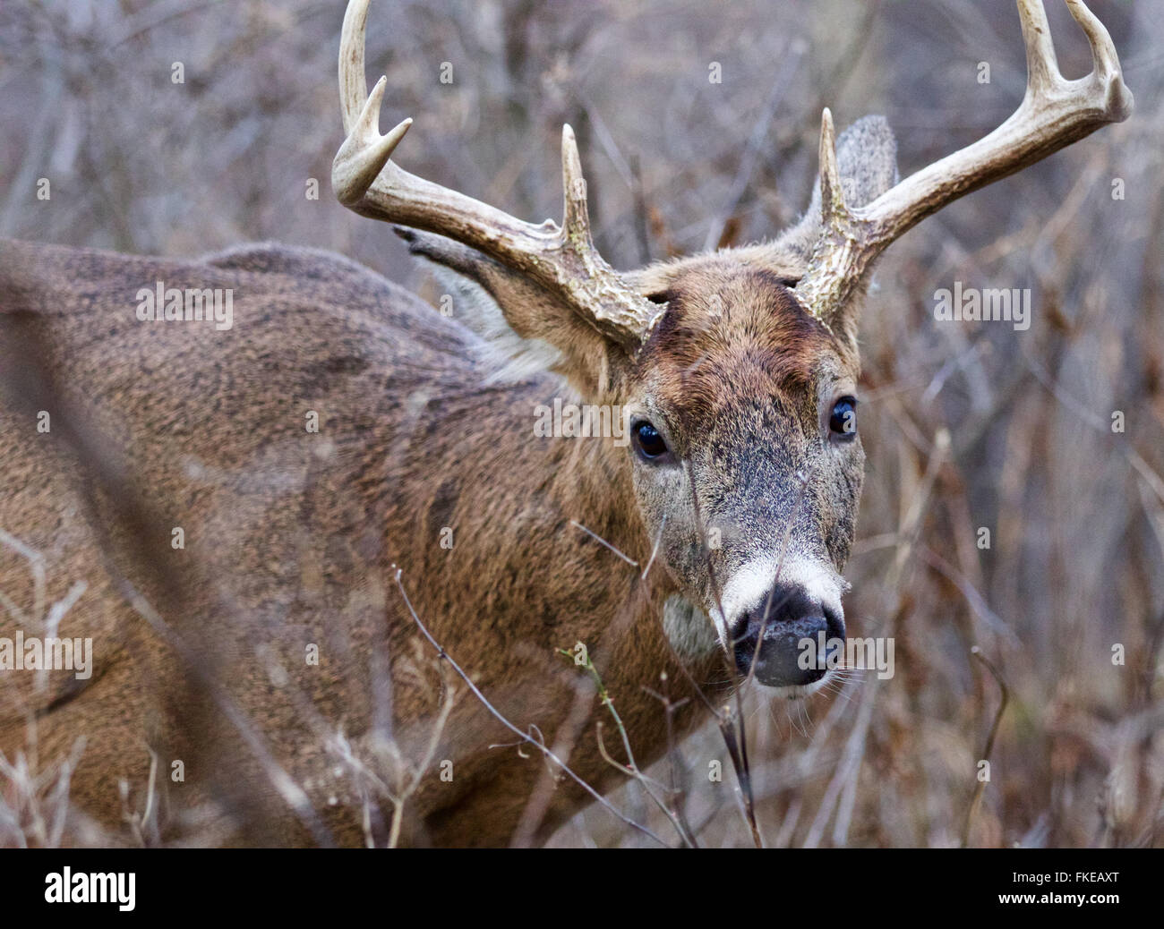 Closeup of the male deer with horns - Stock Image