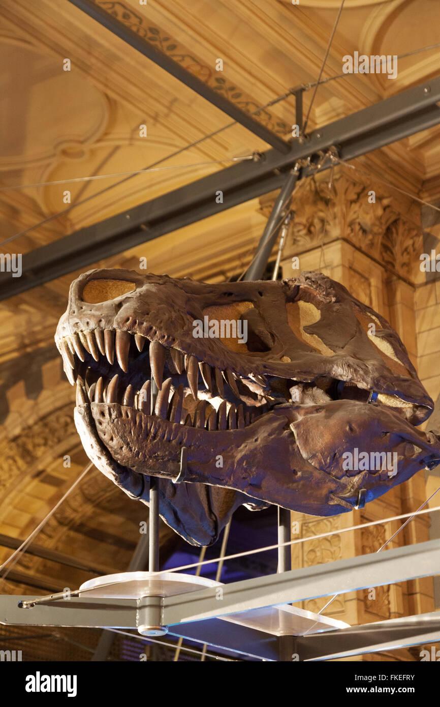 The fossilized skull of a T Rex ( Tyrannosaurus Rex ) dinosaur, Natural History Museum, London UK - Stock Image