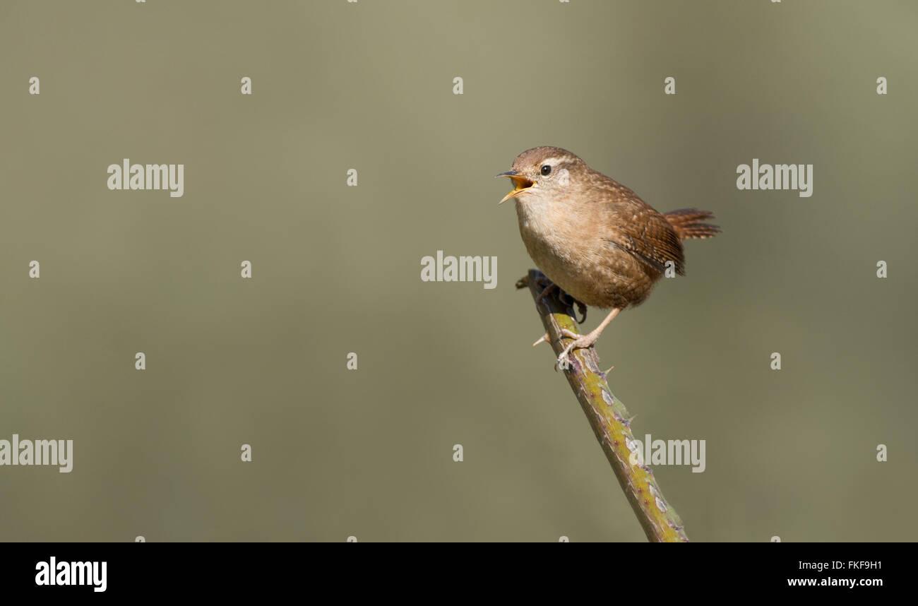 Wren- Troglodytes troglodytes in song. Spring. Uk - Stock Image