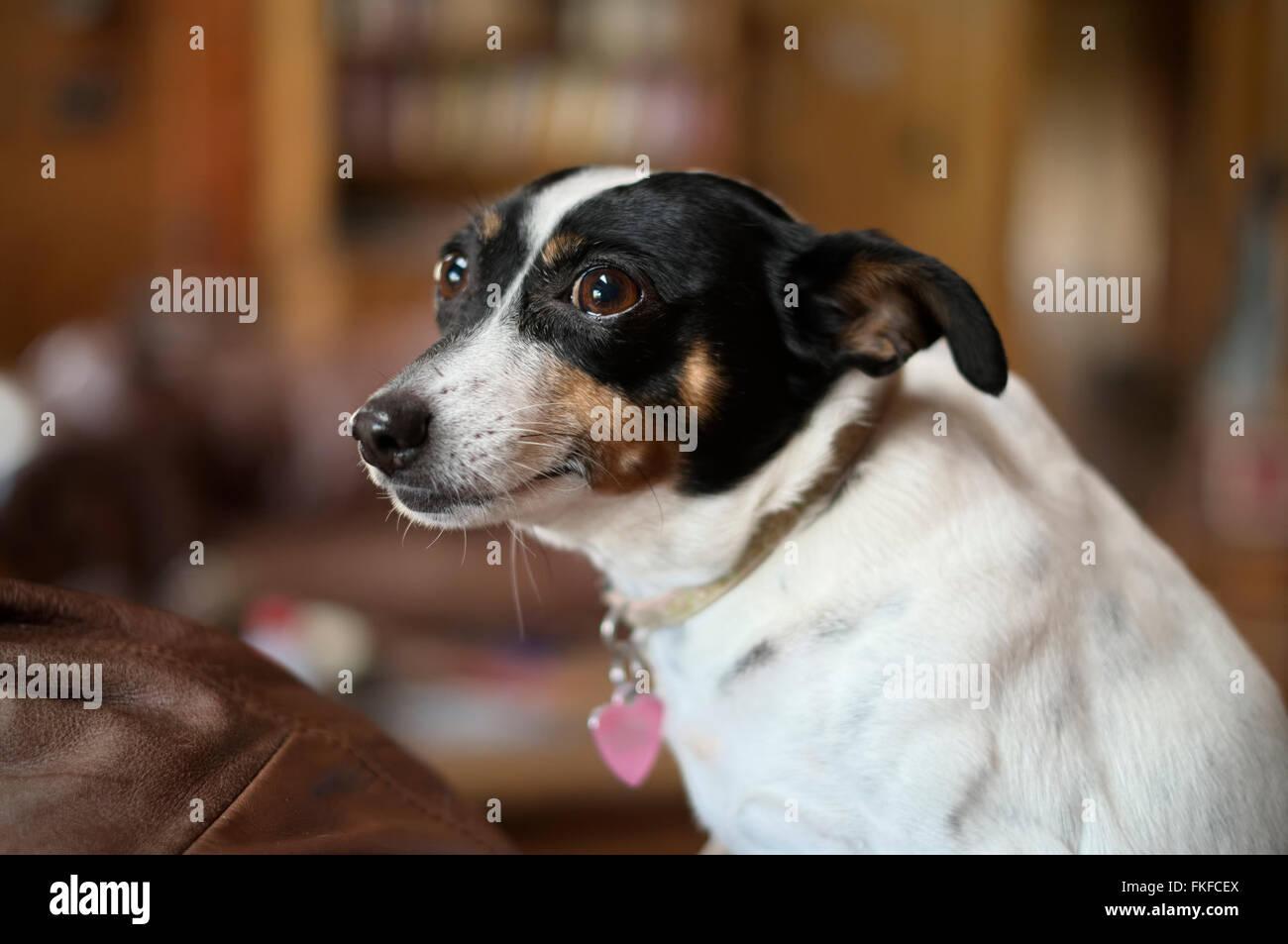 Rat Terrier dog indoors. Portrait style image - Stock Image