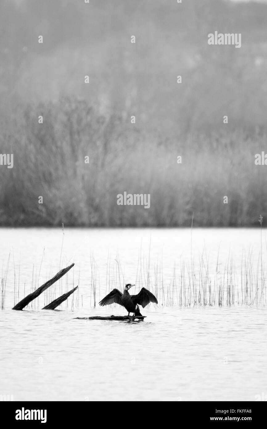 Great black cormorant spreading wings on a tree brank in water lake - Stock Image