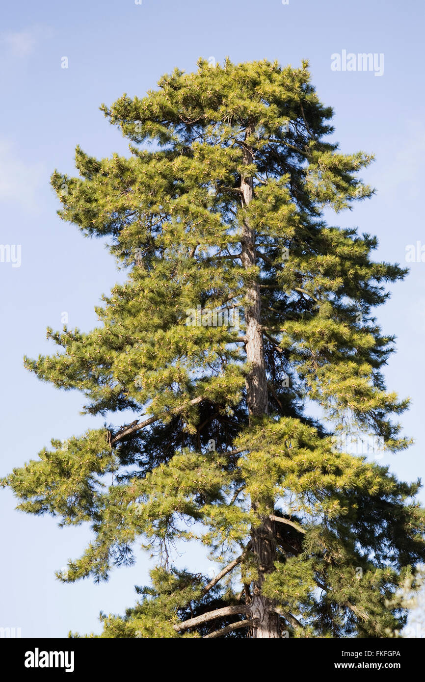 Pine tree against a blue sky. - Stock Image