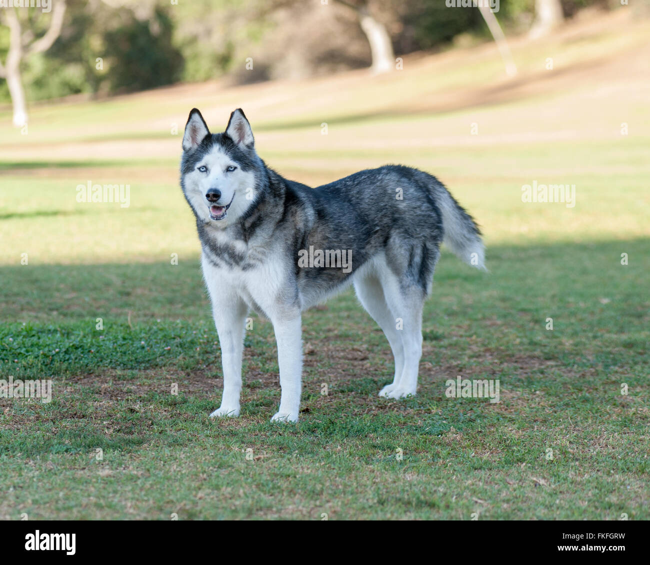 Black And White Husky High Resolution Stock Photography And Images Alamy