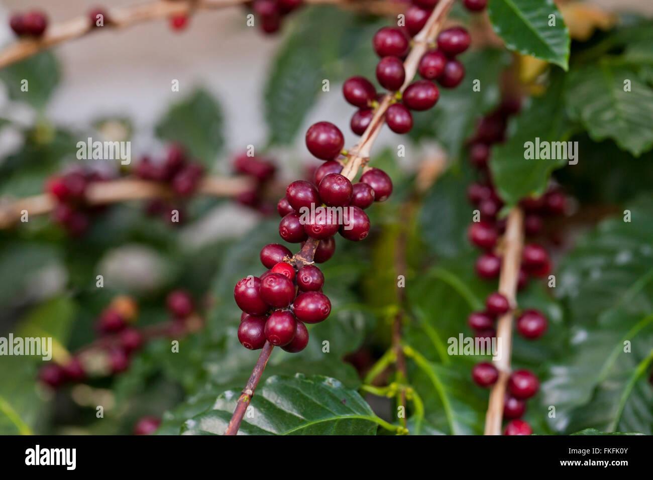Coffee fruits on plant (coffea arabica) - Stock Image
