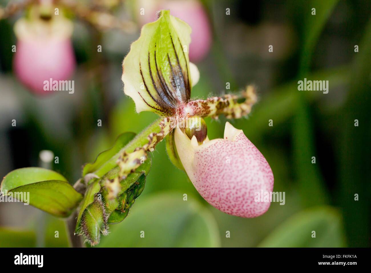 Paphiopedilum victoria-regina orchid flower native to Sumatra - Stock Image