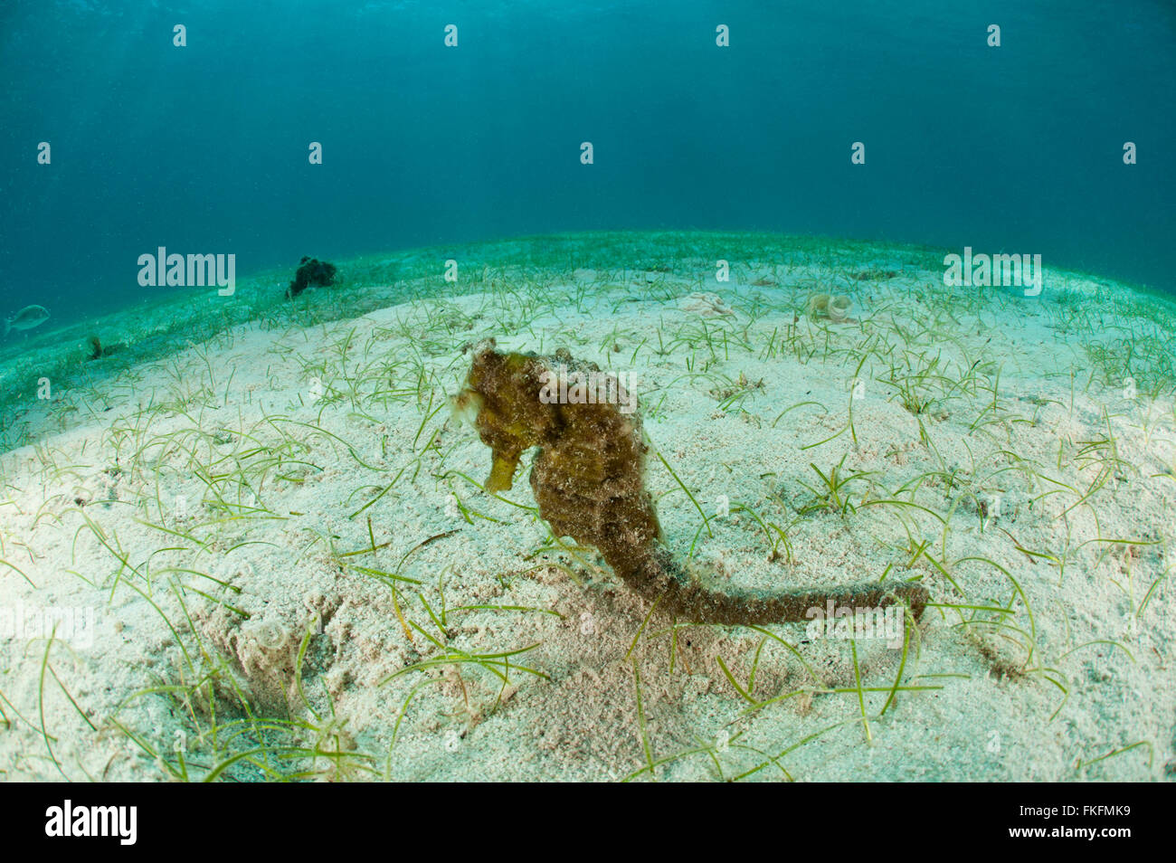 Common seahorse(Hippocampus kuda) in the sandy seagrass. - Stock Image