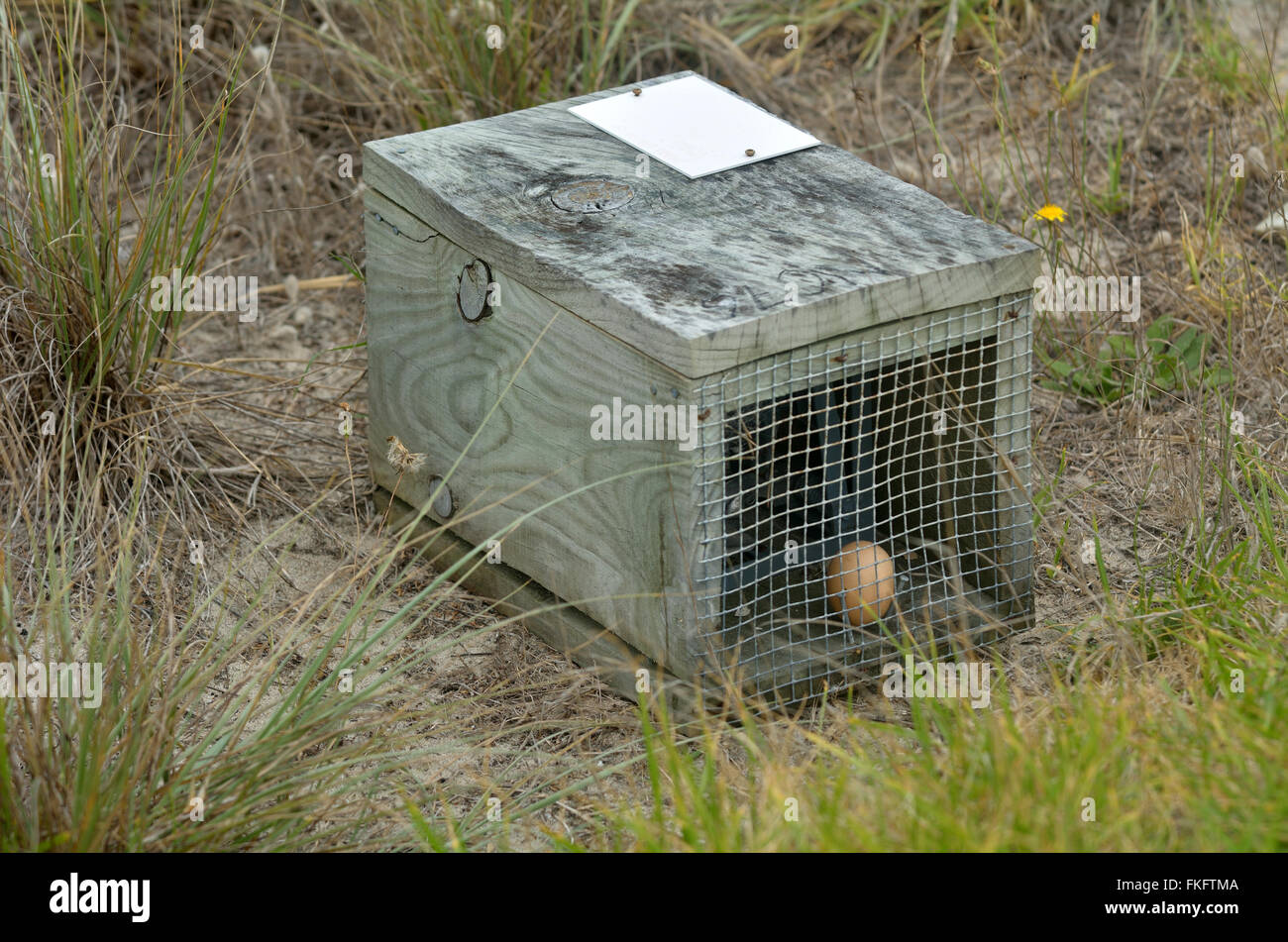 Brown egg in animal cage trap. Removal of animal pests has allowed the reintroduction of native species - Stock Image