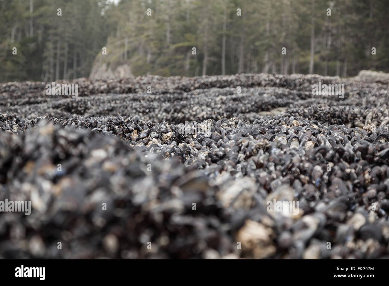 Colony of Blue Mussels (Mytilus edulis) on Vancouver Island near Cape Beal - Stock Image