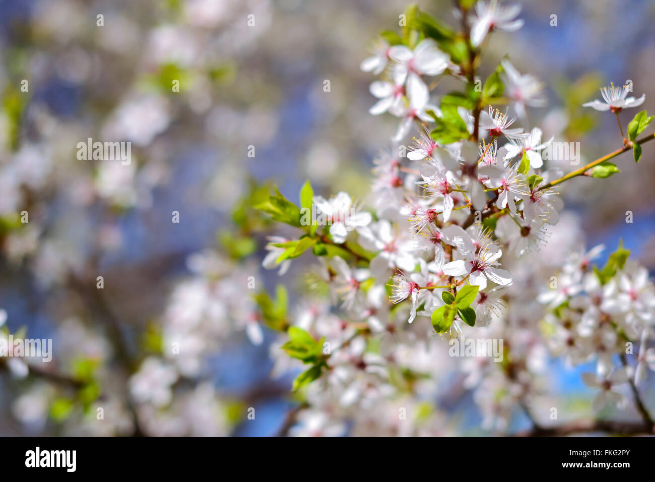 Hawthorn blooms in soft background of flowering branches and sky hawthorn blooms in soft background of flowering branches and sky early spring white flowers background with bokeh mightylinksfo
