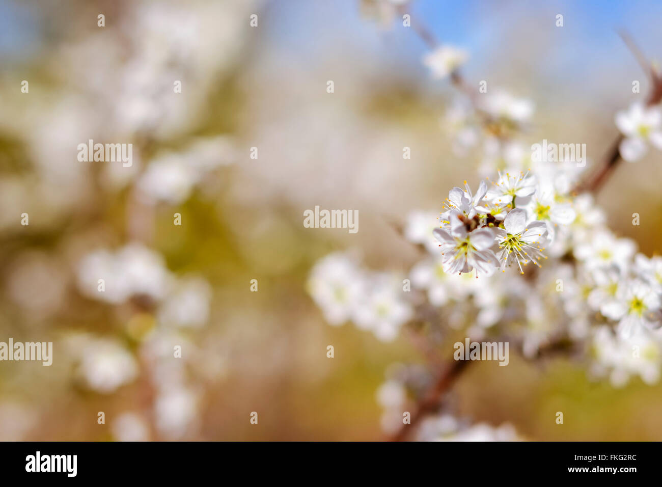 Hawthorn Blooms In Soft Background Of Flowering Branches And Sky