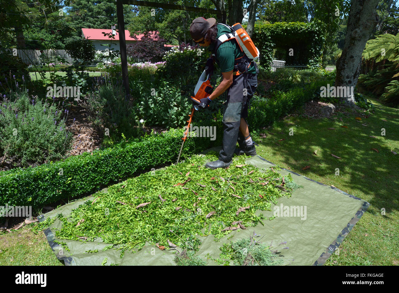 HAMILTON, NZL - JAN 15 2016: Gardener trimming plants in a garden with a trimmer.Forest gardening, a forest-based - Stock Image