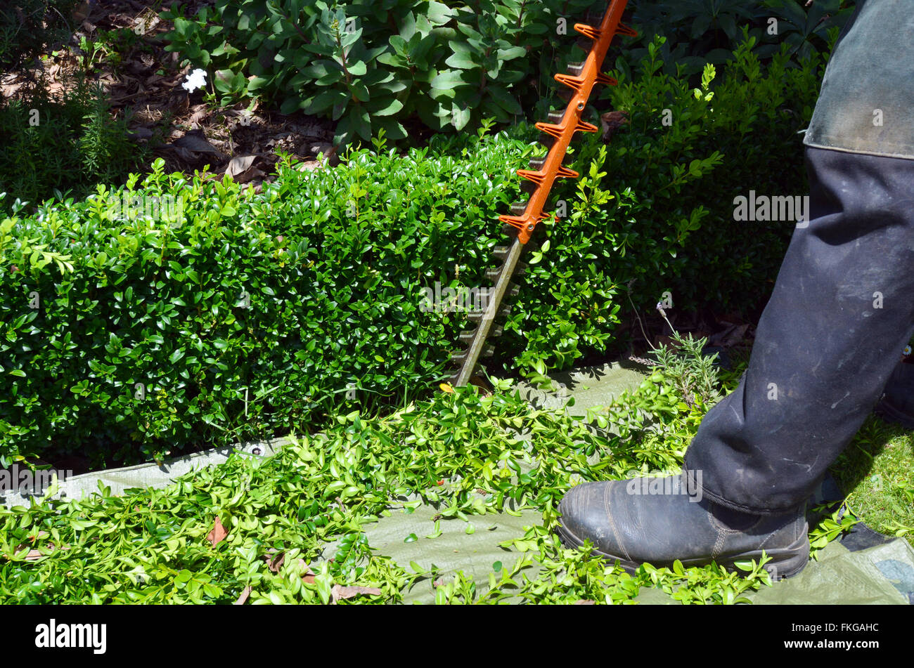 Gardener trimming plants in a garden with a trimmer. - Stock Image
