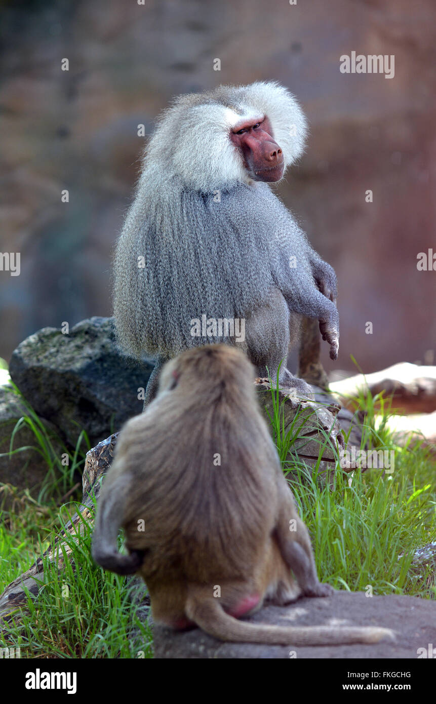 Two Hamadryas baboons, native to the Horn of Africa and the southwestern tip of the Arabian Peninsula. - Stock Image