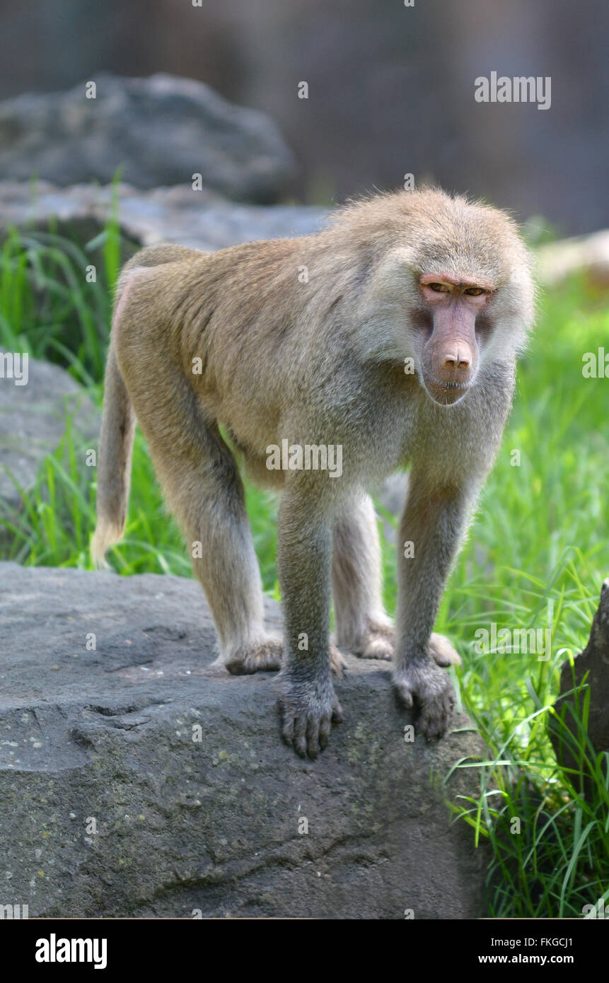 Young Hamadryas baboon, native to the Horn of Africa and the southwestern tip of the Arabian Peninsula. - Stock Image